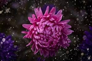 Фото Хризантемы Вблизи Боке Розовая