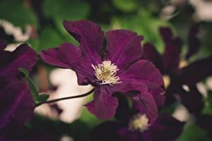 Обои Ломонос Вблизи Боке Фиолетовая цветок
