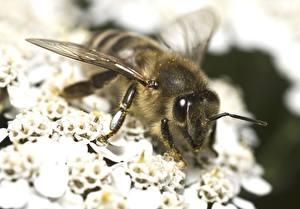 Фотография Вблизи Пчелы