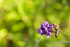Фото Вблизи Пчелы Насекомые Размытый фон животное