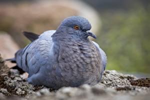 Обои Крупным планом Голуби Птицы Боке животное