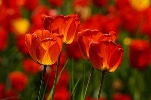 Картинки Вблизи Тюльпан Боке Красные Цветы