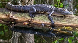 Фотографии Крокодил Бревно Alligator