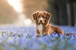Фотография Собаки Боке Морда Взгляд Новошотландский ретривер животное
