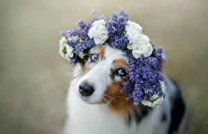 Фото Собаки Милые Смотрит Венок Австралийская овчарка животное