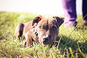 Фотографии Собака Траве Смотрит Щенки Лежа Pitbull животное