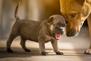 Фото Собака Щенки Миленькие Языком животное
