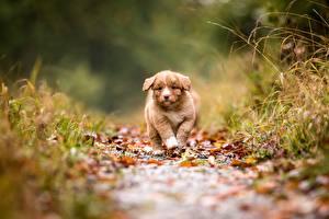Фото Собака Щенки Тропинка Боке Новошотландский ретривер