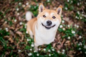 Обои для рабочего стола Собака Улыбается Боке Смешной Милый Shiba Inu животное