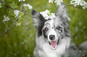 Фото Собака Морды Смотрит Языком Бордер-колли Головы животное