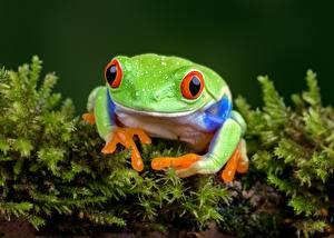 Картинки Глаза Лягушка Зеленая животное