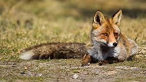 Фото Лисица Лежа Смотрит животное