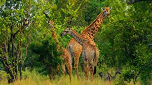 Обои Жирафы Животные