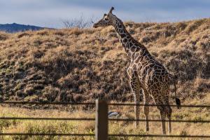 Обои Жирафы Животные картинки