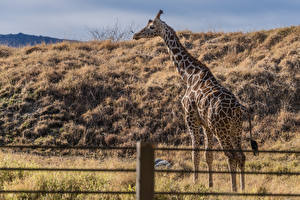 Фото Жирафы