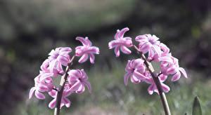Обои для рабочего стола Гиацинты Вблизи Розовая цветок