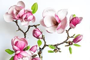 Картинки Магнолия Белый фон Ветвь цветок
