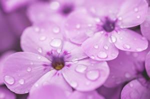Обои для рабочего стола Флоксы Вблизи Макро Фиолетовые Капель Цветы