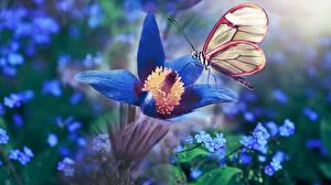 Обои для рабочего стола Прострел Бабочка Синяя цветок Животные