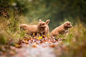 Фотография Щенки Тропинка Боке Новошотландский ретривер животное