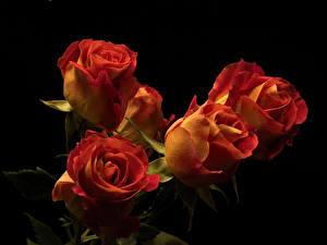 Картинки Роза Вблизи На черном фоне цветок