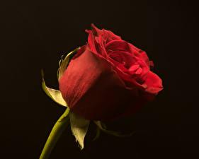 Картинки Розы Крупным планом Черный фон Красная Цветы