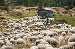 Фотографии Овцы Много Луга Стадо животное