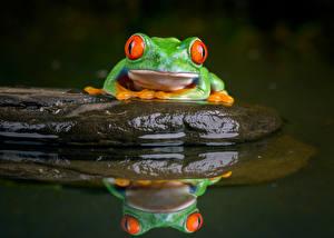 Картинка Камень Воде Лягушка Отражении red-eyed treefrog животное