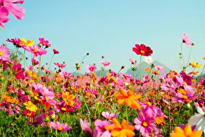 Фотографии Лето Небо Луга Космея цветок