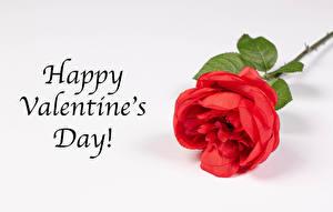 Фотография День святого Валентина Розы Крупным планом Серый фон Английская Слово - Надпись Красная Цветы