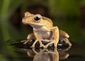 Обои для рабочего стола Воде Глаза Лягушка Отражении Borneo Eared Frog животное