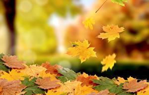Фотография Осенние Клёна Листва Природа