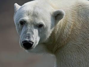 Фотография Медведи Северный Морда Животные