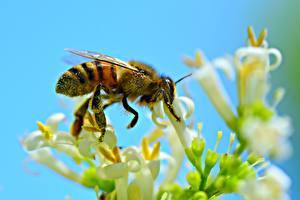 Фотографии Пчелы Насекомые Вблизи животное