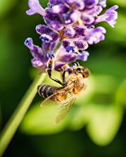 Картинки Пчелы Насекомое Крупным планом Размытый фон Животные