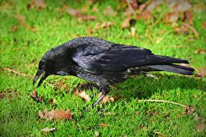 Фото Птицы Ворона Трава Черные животное