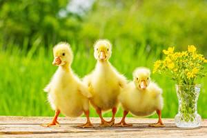 Обои Птица Птенец Гусь Боке Пушистая Втроем Желтая гусята животное