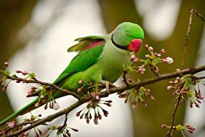 Фотография Птицы Попугаи Ветки Зеленая Alexandrine parakeet Животные