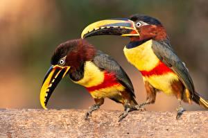 Фотография Птица Туканы Двое Клюв Pteroglossus castanotis животное