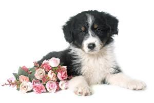 Обои Букет Роза Белом фоне Лежа Щенки Аусси Цветы