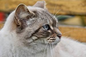 Картинки Кошка Вблизи Головы Усы Вибриссы Взгляд Животные