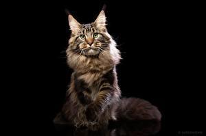 Картинка Кошки Мейн-кун Черный фон Взгляд Natalya Leis Животные