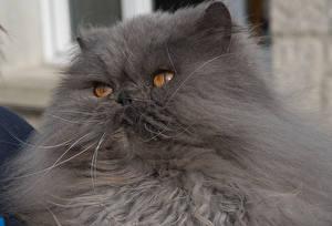 Обои Кошки Персидский кот Серый Морда