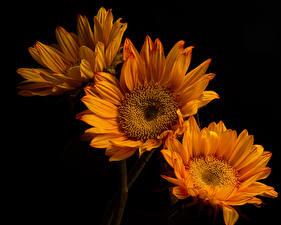 Обои Хризантемы Крупным планом На черном фоне Три Оранжевая Цветы