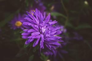 Картинка Крупным планом Астры Боке Фиолетовый цветок