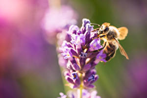 Картинка Вблизи Пчелы Насекомое Боке