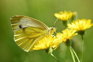 Фотография Вблизи Бабочка Боке Cabbage butterfly, Pieris brassicae животное