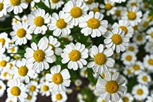 Картинки Вблизи Ромашки Много Белый Цветы