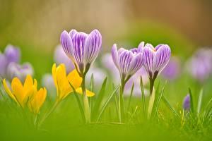 Фотография Вблизи Шафран Боке Траве цветок