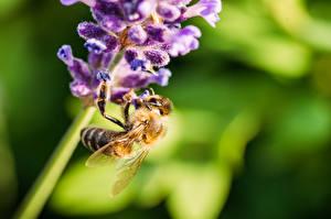 Фото Крупным планом Лаванда Пчелы Насекомые Размытый фон